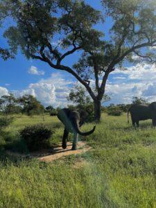 baby olifant in het Krugerpark